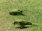 Parakeets grazing on the lawn
