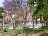 Beautiful Jacaranda Trees in bloom were all over the city
