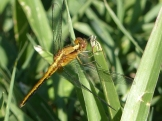 All the way up the coast, we saw huge numbers of dragonfly