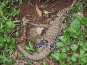 There was lots of wildlife to enjoy in the national parks - this lizard has been caught part way through moulting