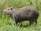 Also some more Capybara