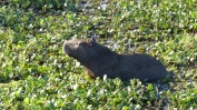 Capybara wallowing the mud on a hot afternoon