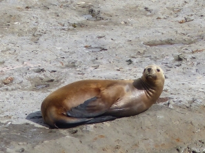 Sea Lion lolling about on the beach