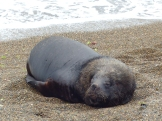 A Sea Lion digests its breakfast