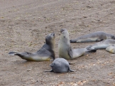 And young male Elephant Seals practice fighting