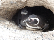 The Magellanic penguins nest in holes in the ground