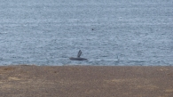 An unexpected lucky sighting of a Southern Wright whale and calf playing near the coast - most of their peers would have been much further south by then