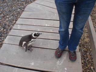 A close encounter - as a penguin considers Bruce!