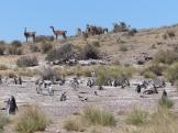 Guanacos around another penguin colony