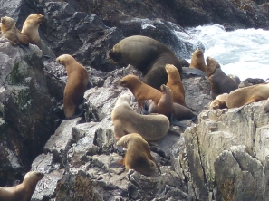 And can be hard to distinguish from Seal Lions