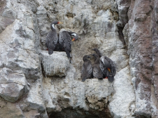 and the beautiful Grey Cormorants nesting