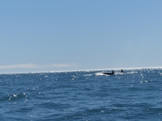A very rare and lucky sighting of Orcas (Killer Whales) in the distance. We chased, but this was about as close as we got...
