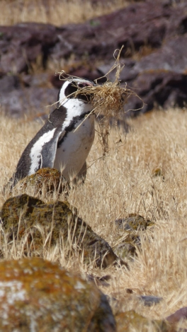 This penguin was on a mission with some nesting materials...