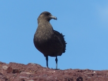 A Skua keeps watch - they prey on little penguin chicks