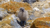 The Skuas had chicks of their own, helplessly wandering among the rocks, to keep safe