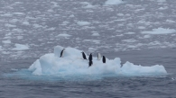 Some Chinstrap penguins hitching a lift on a piece of ice