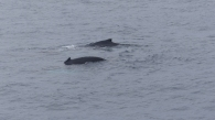 Humpback whales spotted near the boat