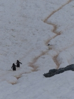 """These are the """"penguin highways"""""""