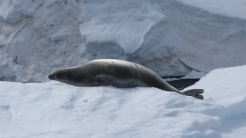 A Crabeater seal (which eats krill, not crabs) digests it's lunch