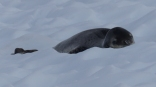 And one of the expedition team stood watch over a Leopard Seal to make sure it didn't wake up and interrupt - they are the top predator here and not something you would want to meet while swimming!