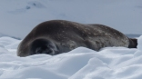 Nearby, a harmless Weddell Seal also sleeps of its lunch!