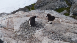 Skuas prey on penguin chicks
