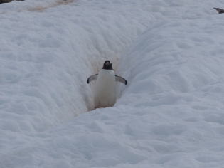 Enjoying more penguin highway action