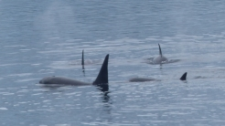 The male can be easily distinguished by his much longer, tall dorsal fin