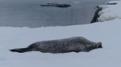 And a Weddell seal, also digesting