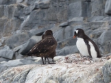 The chicks are very vulnerable to Skuas