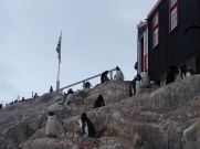 The penguin colony is a more recent addition apparently, with the Gentoo numbers increasing recent year