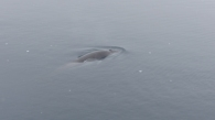 Back at the ship, a Minke whale came over to check us out