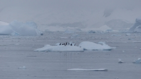 And lots of penguins coming out for a rest on the sea ice