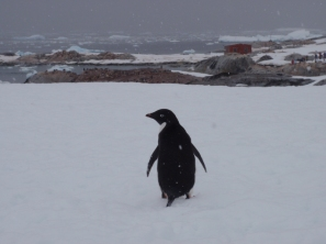 TIme to meet the next species of penguin - the Adelie