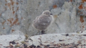 A gull chick looks like it's managing to keep warm despite the snow