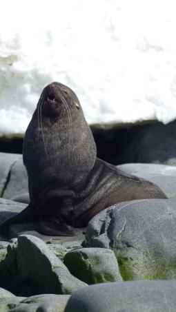 A Southern Fur Seal also enjoying the sun