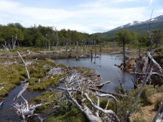 Beaver damage in Tierra del Fuego...