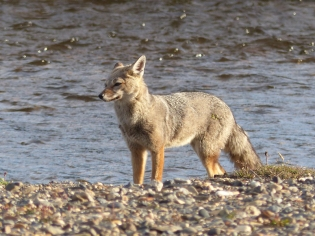 A Grey Fox passes our camp by the shore that night