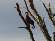 The ubiquitous Caracara