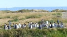 A colony of King Penguins on the coast of the Strait of Magellan