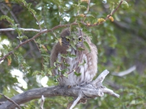 We were visited by an Austral Pygmy Owl at our camp