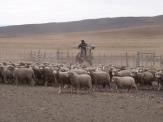 Gauchos at work herding the sheep