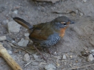 Friendly little Chucao birds, reminiscent of our Robins, hopped around the path as we walked in to see the glacier