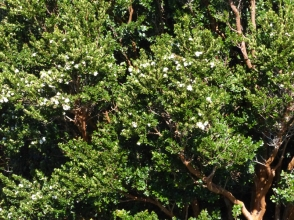 Many beautiful Arrayane trees in flower