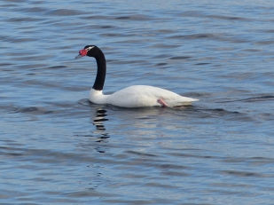 A black-necked swan