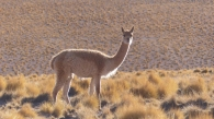 We also enjoyed watching the many vicuñas