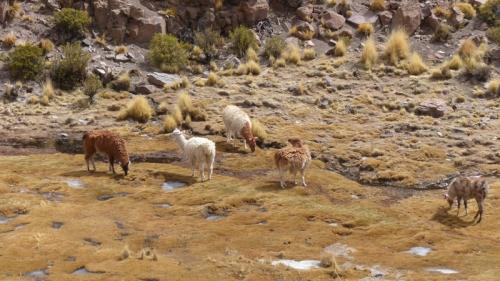 Llamas feeding in a frozen valley