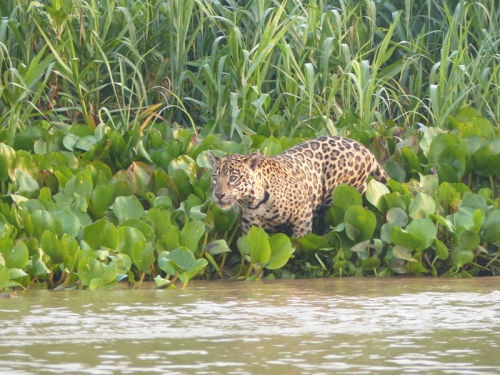 A young jaguar in the Pantanal