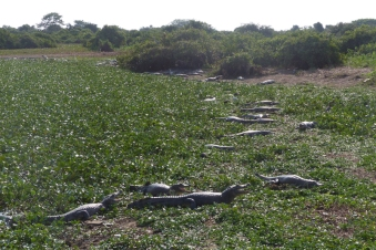 The Caimans have been left restricted to ever decreasing pools as the area dries out