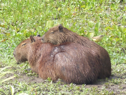 Good weather for Capybaras (fondly known as Happy Capys by us)